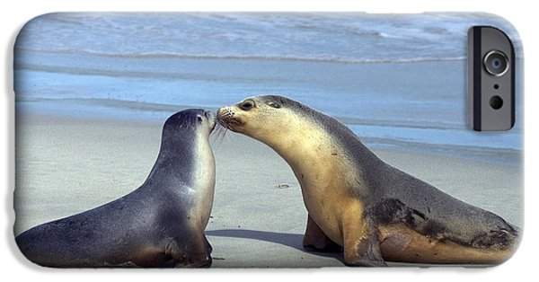 Sea Lions iPhone Cases - A Mothers Love iPhone Case by Mike  Dawson