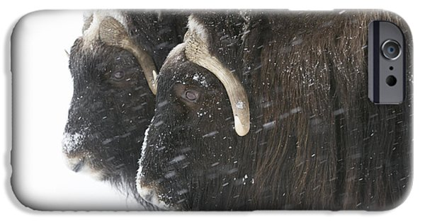 Snowy Day iPhone Cases - A Pair Of Captive Muskox Cows Stand iPhone Case by Doug Lindstrand