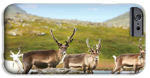 Norway iPhone Cases - A small group of reindeer in Norway iPhone Case by Sandra Rugina