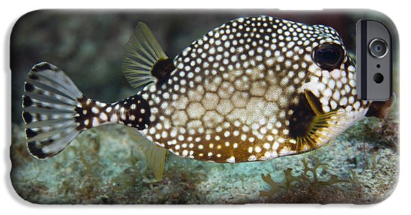 Undersea Photography iPhone Cases - A Spotted Trunkfish, Key Largo, Florida iPhone Case by Terry Moore