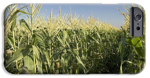 Sweet Corn iPhone Cases - A Sweet Corn Field iPhone Case by Inga Spence