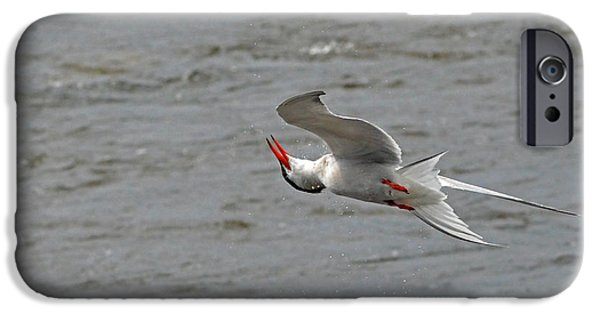 Autumn iPhone Cases - Acrobatics of the Common Tern iPhone Case by Asbed Iskedjian