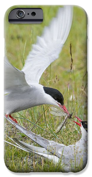 Bonding iPhone Cases - Adult Arctic Tern Feeds Insect iPhone Case by Cathy Hart