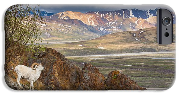 Interior Scene iPhone Cases - Adult Ram Dall Sheep On A Hillside iPhone Case by Michael Jones