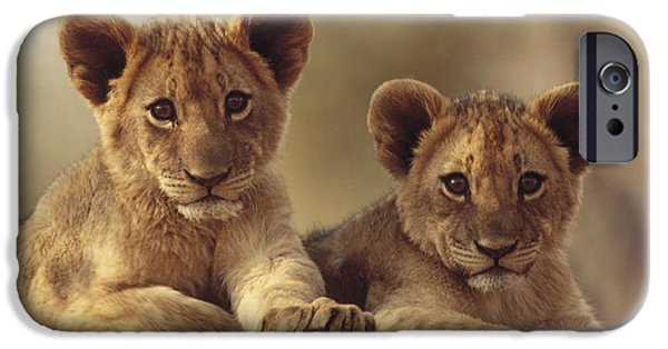 Felidae iPhone Cases - African Lion Cubs Resting On A Rock iPhone Case by Tim Fitzharris