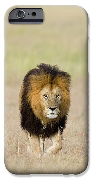 Felidae iPhone Cases - African Lion Panthera Leo Male, Masai iPhone Case by Suzi Eszterhas