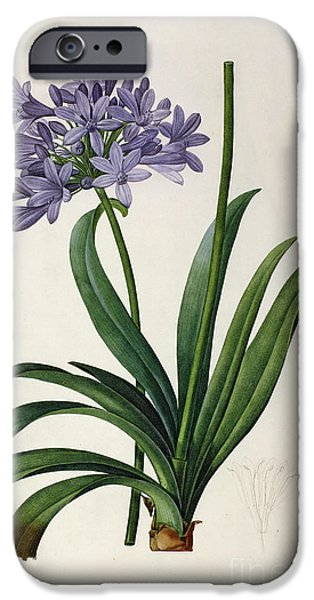 Botanical iPhone Cases - Agapanthus umbrellatus iPhone Case by Pierre Redoute