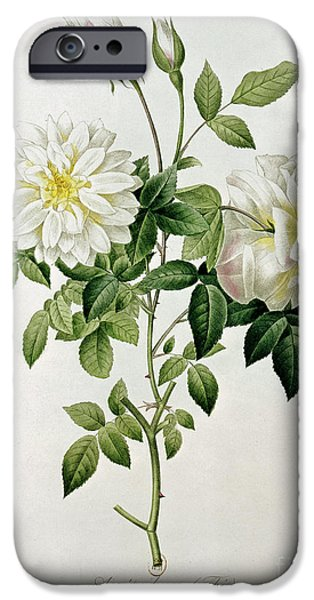 Botany iPhone Cases - Aime Vibere iPhone Case by Pierre Joseph Redoute