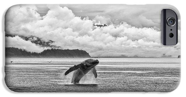 Drama iPhone Cases - Alaska Humpback Breach iPhone Case by Josh Whalen