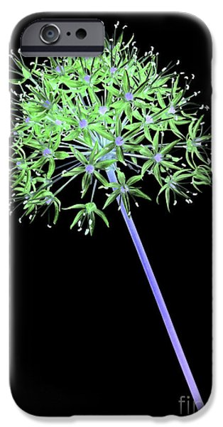 Alliums iPhone Cases - Allium 2 on black iPhone Case by Tony Cordoza