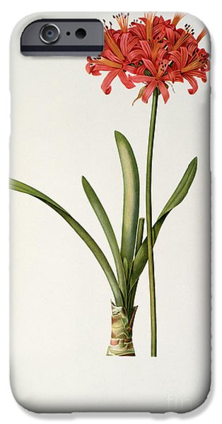 Plant Drawings iPhone Cases - Amaryllis Curvifolia iPhone Case by Pierre Redoute