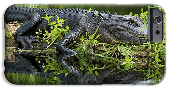 Alligator iPhone Cases - American Alligator in the Wild iPhone Case by Dustin K Ryan