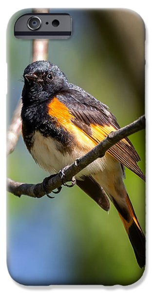 Warbler iPhone Cases - American Redstart Portrait iPhone Case by Bill Wakeley