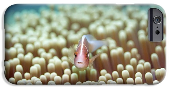 Clown Fish Photographs iPhone Cases - Anemone and Pink clownfish iPhone Case by MotHaiBaPhoto Prints