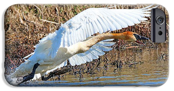 Swans... iPhone Cases - Angry Swan  9789 iPhone Case by Jack Schultz