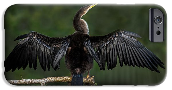 Anhinga iPhone Cases - Anhinga Anhinga Anhinga Perching iPhone Case by Panoramic Images