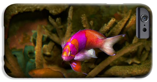 Antiques iPhone Cases - Animal - Fish - Pseudanthias pleurotaenia  iPhone Case by Mike Savad