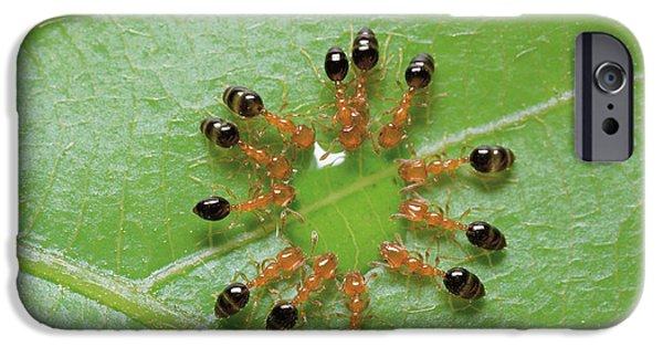 Ant iPhone Cases - Ant Monomorium Intrudens Group Drinking iPhone Case by Takashi Shinkai