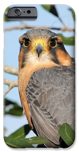 Animals Photographs iPhone Cases - Aplomado Falcon iPhone Case by Dawn Currie