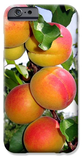 Apricots iPhone Cases - Apricots iPhone Case by Will Borden
