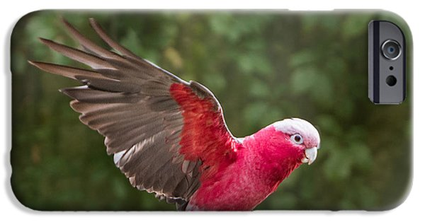 Recently Sold -  - Flight iPhone Cases - Australian Galah Parrot in Flight iPhone Case by Patti Deters