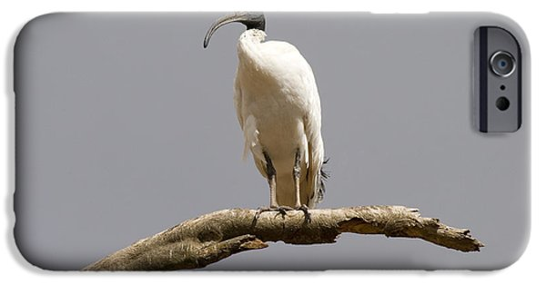 Ibis iPhone Cases - Australian White Ibis Perched iPhone Case by Mike  Dawson