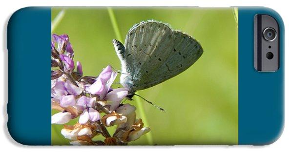 Arkansas iPhone Cases - Azure Celastrina Butterfly on Sampsons Snakeroot Flower iPhone Case by Jefferson Danley