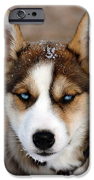 Huskies iPhone Cases - Baby Blue Eyes iPhone Case by Kristin Lam