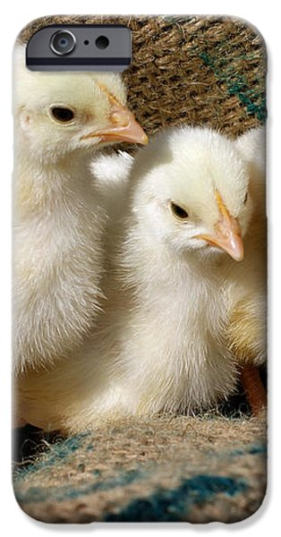 Baby Chicks iPhone Case by Sandy Keeton