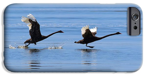 Swans... iPhone Cases - Balck Swans Taking to Flight iPhone Case by Bill  Robinson
