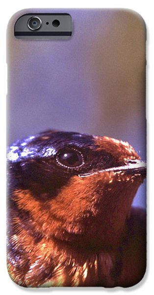 Barn Swallow iPhone Cases - Barn Swallow Portrait iPhone Case by Rory Cubel