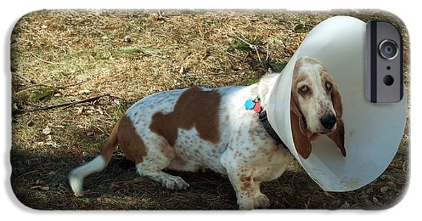 Pet Care iPhone Cases - Basset Hound With Elizabethan Collar iPhone Case by John Kaprielian