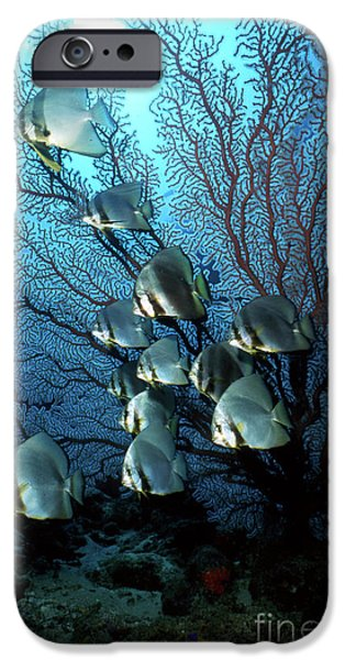 Undersea Photography iPhone Cases - Batfish And Sea Fan, Papua New Guinea iPhone Case by Beverly Factor