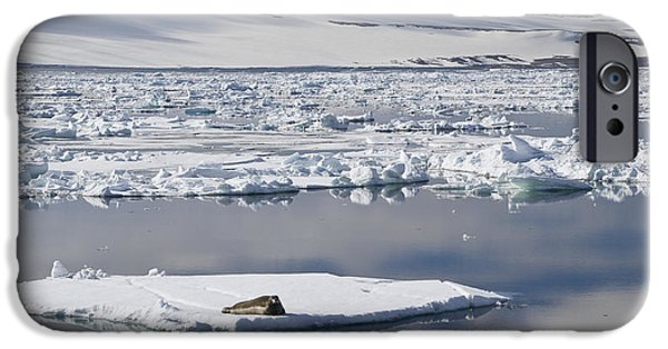 Norway iPhone Cases - Bearded Seal Erignathus Barbatus On Ice iPhone Case by Konrad Wothe