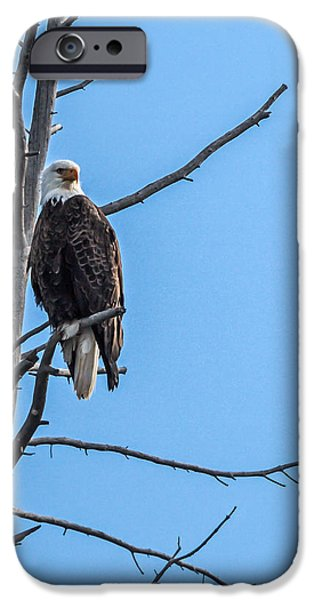 Haybale iPhone Cases - Beautiful Bald Eagle iPhone Case by Robert Bales