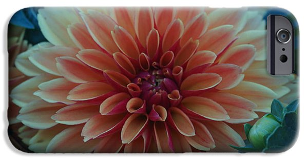 Flora iPhone Cases - Beautiful Dahlia 3 iPhone Case by Dimitry Papkov