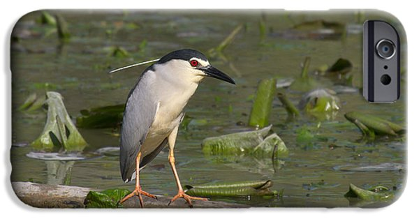 Freedom Tapestries - Textiles iPhone Cases - Beautiful specimen of Night Heron iPhone Case by Marco Amenta
