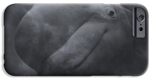 Nature Study iPhone Cases - Beluga Face to Face iPhone Case by Betsy C  Knapp
