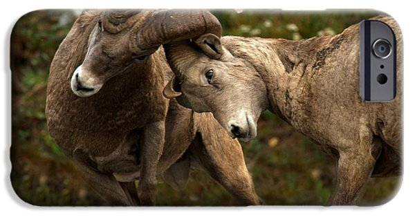 Animals Photographs iPhone Cases - Bighorn Brawlers iPhone Case by Adam Jewell