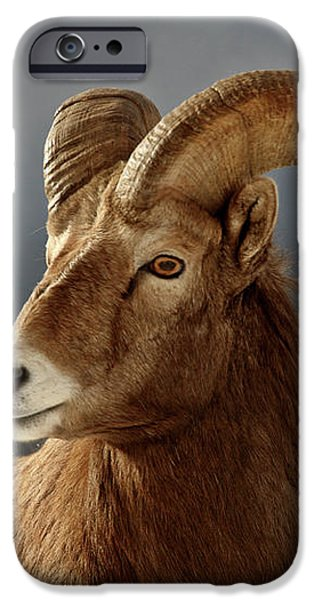 Bighorn Sheep in winter iPhone Case by Mark Duffy
