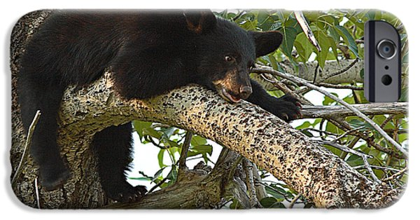 Bear Cub iPhone Cases - Black Bear Cub Hanging Out On Tree Branch iPhone Case by Max Allen