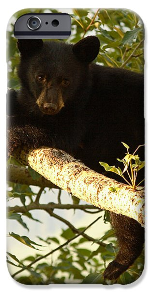 Bear Cub iPhone Cases - Black Bear Cub Resting On A Tree Branch iPhone Case by Max Allen