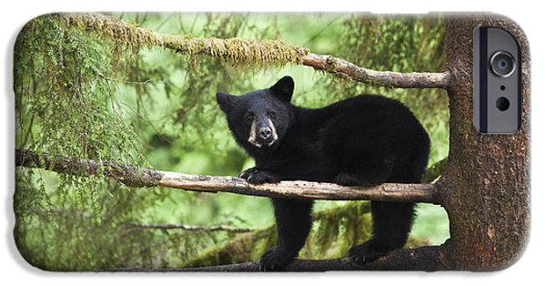 Tongass iPhone Cases - Black Bear Ursus Americanus Cub In Tree iPhone Case by Matthias Breiter