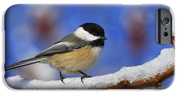 Chickadee iPhone Cases - Black-capped Chickadee in Sumac iPhone Case by Tony Beck