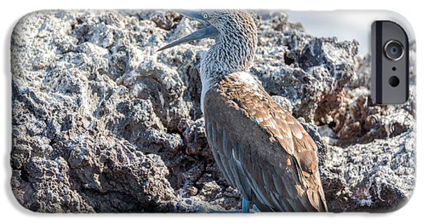 Boobies iPhone Cases - Blue Footed Booby iPhone Case by Jess Kraft