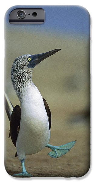 Boobies iPhone Cases - Blue-footed Booby Sula Nebouxii iPhone Case by Tui De Roy