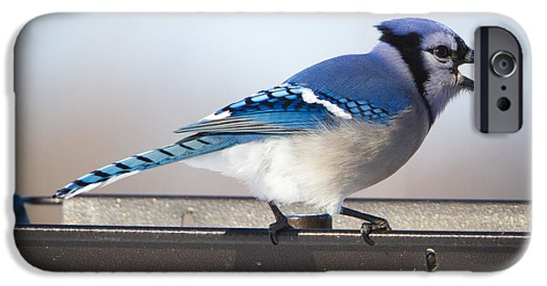 Animals Photographs iPhone Cases - Blue Jay with a Mouth Full iPhone Case by Ricky L Jones