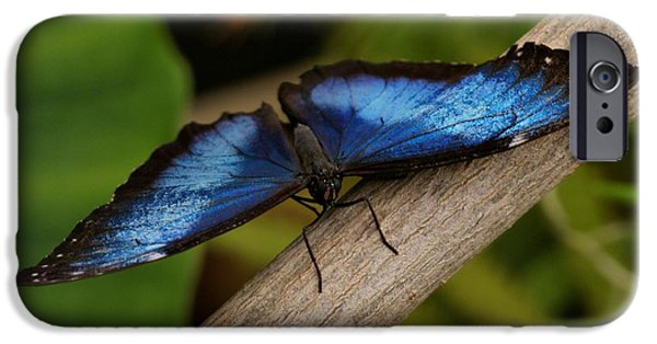 Indiana Photography iPhone Cases - Blue Morpho Butterfly iPhone Case by Sandy Keeton