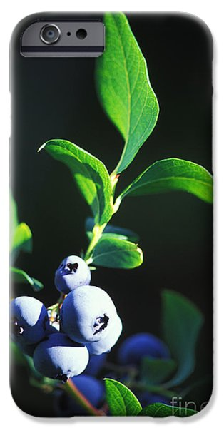 Berry iPhone Cases - Blueberries On A Bush iPhone Case by George Mattei