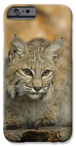 Bobcats Photographs iPhone Cases - Bobcat Felis Rufus iPhone Case by Grambo Photography and Design Inc.